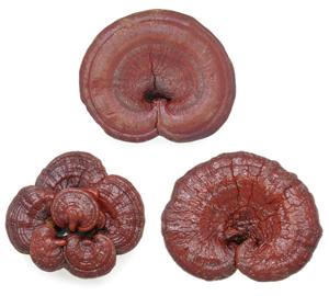 Der Reishi Pilz