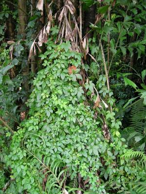 Jiaogulan aus Wildsammlung